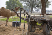 Camel in rural area — Stock Photo