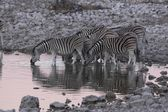 Zebras at waterhole — Stock Photo