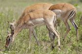 Impala grazing — Stockfoto