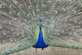 Indian Peafowl Pavo — Stock Photo