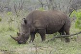 Rhinoceros in African plains — Stock Photo