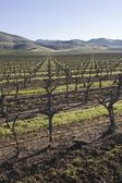 Vineyard in Santa Maria — Stock Photo