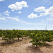 Stock Photo: Orange orchard