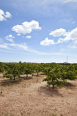 Orange orchard — Stock Photo