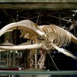 Stock Photo: Big fish skeleton in GeorgiAquarium, U.S.