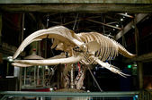 Big fish skeleton in Georgia Aquarium, U.S. — Zdjęcie stockowe