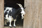 Rest of a goat near the house — Stock Photo