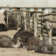 Ostriches bask in the sun - Stock Photo