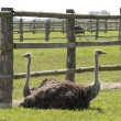 Rest of ostriches - Stock Photo