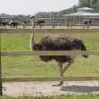 Walk of an ostrich - Stock Photo