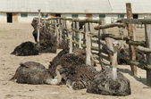Ostriches bask in the sun — 图库照片