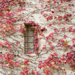 Stock Photo: Red ivy on wall. background horizontally