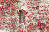 Red ivy on a wall. A background horizontally — Stock Photo