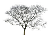 Tree without leaves isolated in white background — Stock Photo