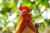 Cock — Stock Photo
