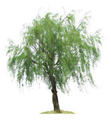 Willow tree — Stock Photo