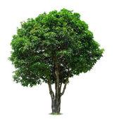 árbol de mango — Foto de Stock