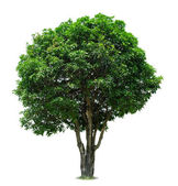 árvore de manga — Foto Stock