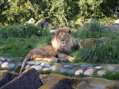 Lion rests in the grass — Stock Photo