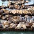 Stock Photo: Large group of SeLions rest on rows of Piers