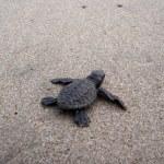 Baby sea turtle hikes through the sand to the sea — Stock Photo #21544633