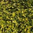 Leafs of Hedge — Stock Photo
