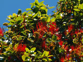 Red Ohi'a Flowers in bloom on branch of tree — Stock fotografie