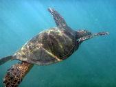 Hawaiian Sea Turtle swims the waters of Waikiki — Stock Photo