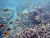 Kikakapu - Raccoon Butterflyfish swim above the coral — Stock Photo