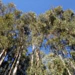 Tall eucalyptus trees and blue sky — Stock Photo