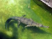 Alligator floats in the water — Foto de Stock
