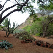 Cactus trees and cut logs inside the crater of Koko Head — Stock Photo