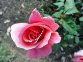 Roze roos in de tuin — Stockfoto