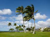 Kokospalmen auf Rasen im Park von ko olina — Stockfoto