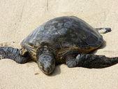 Plaj hawaiian deniz kaplumbağası dinlenme — Stok fotoğraf