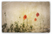 Vintage Photograph of Poppies in Field — ストック写真