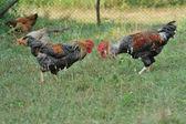 Cocks — Stock Photo