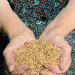 Stock Photo: Farmer hands full of wheat