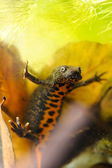 Small crested newt — Stock Photo