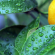 Green laeves & waterdrops — Stock Photo