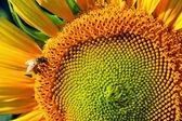 Honeybee on sunflower — Stock Photo