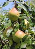 Pears have not yet withdrawn from tree — Stock Photo
