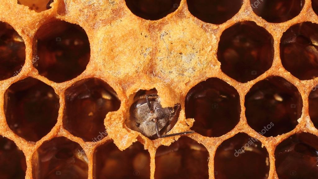 Bee goes to open the cocoon. The facility is accessible enough for photography. This is a beekeepers can afford. — Stock Photo #12064918