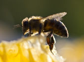 Bees preen — Stock Photo