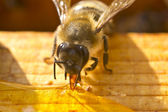 Bee collects nectar spilled — Stock Photo