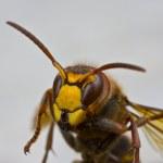 Hornet — Foto Stock
