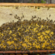 Life and reproduction of bees. — Stockfoto