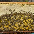 Life and reproduction of bees. — Stock fotografie