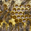 Work bees in hive — 图库照片