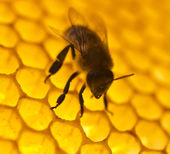 Bee build honeycombs. — Stock Photo